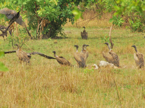 IBCP conducts surveys for critically endangered vultures in Ghana
