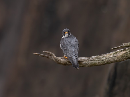 IBCP falcon research featured in BirdWatching Magazine!