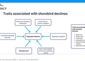 IBCP's Rose Fellow Kristen Rosamond presents at International Shorebird Twitter Conference