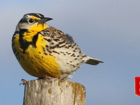 IBCP co-authors new publication on grassland bird conservation