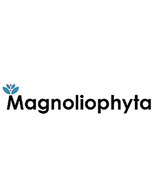 Magnoliophyta