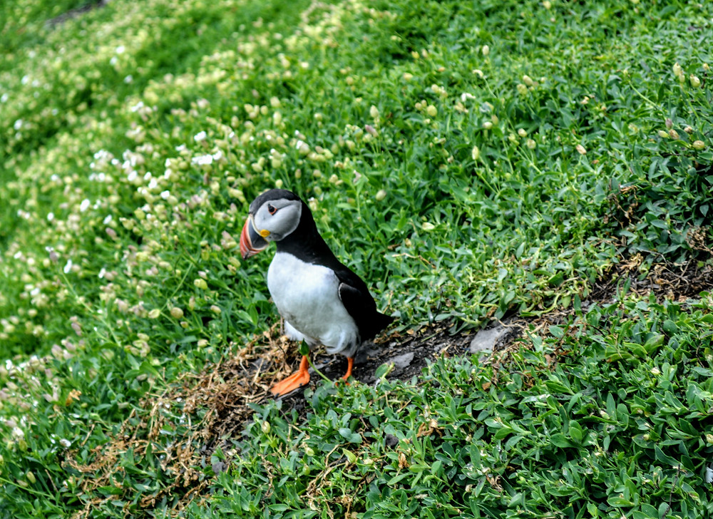 Puffin on Skellig Michael, off the cost of the Kerry Peninsula in Ireland, ancient monk colony,
