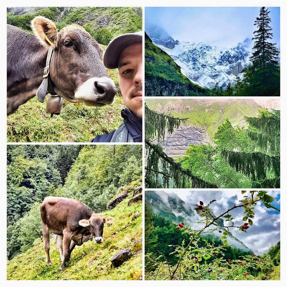 Ebenalp Mountain Trail Switzerland, Swiss Cow