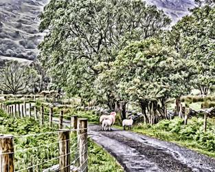irish valley sheep