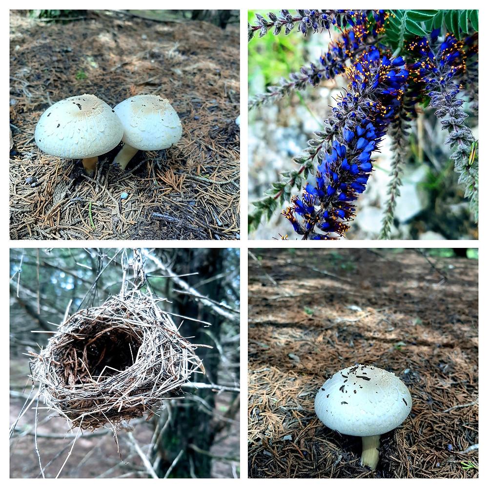 Kansas nature observations: mushrooms, birds nest, leadplant (wildflower)