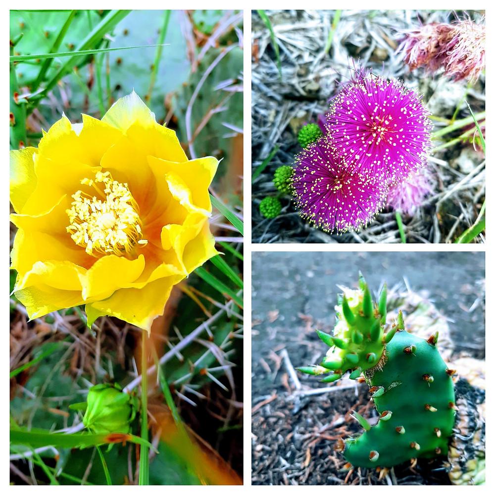 Kansas wild flower identification: Plains Prickly Pear, Fourvalve Mimosa , Plains Prickly Pear