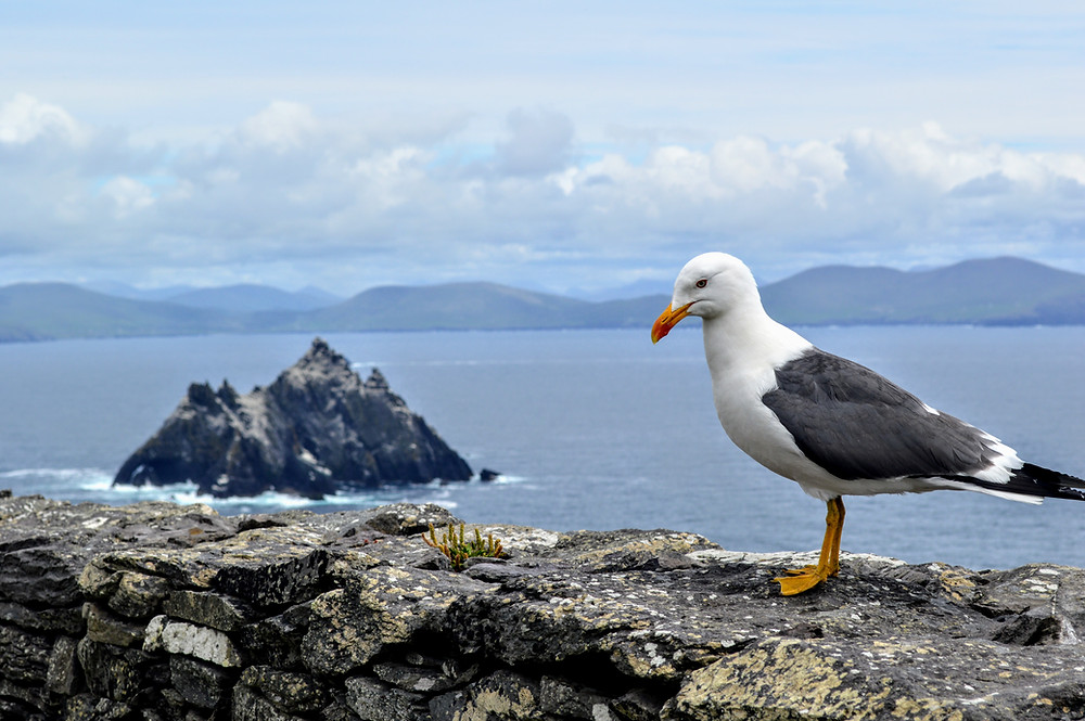 Sea Gull, looking out at Little Skellig from Skellig Michael, off the cost of the Kerry Peninsula in Ireland, ancient monk colony,