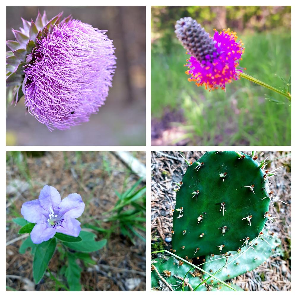 Kansas Wildflower identification: Musk Thistle, Purple Prairie Clover, wild petuniaPlains Prickly Pear