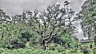 corkscrew oak (2)