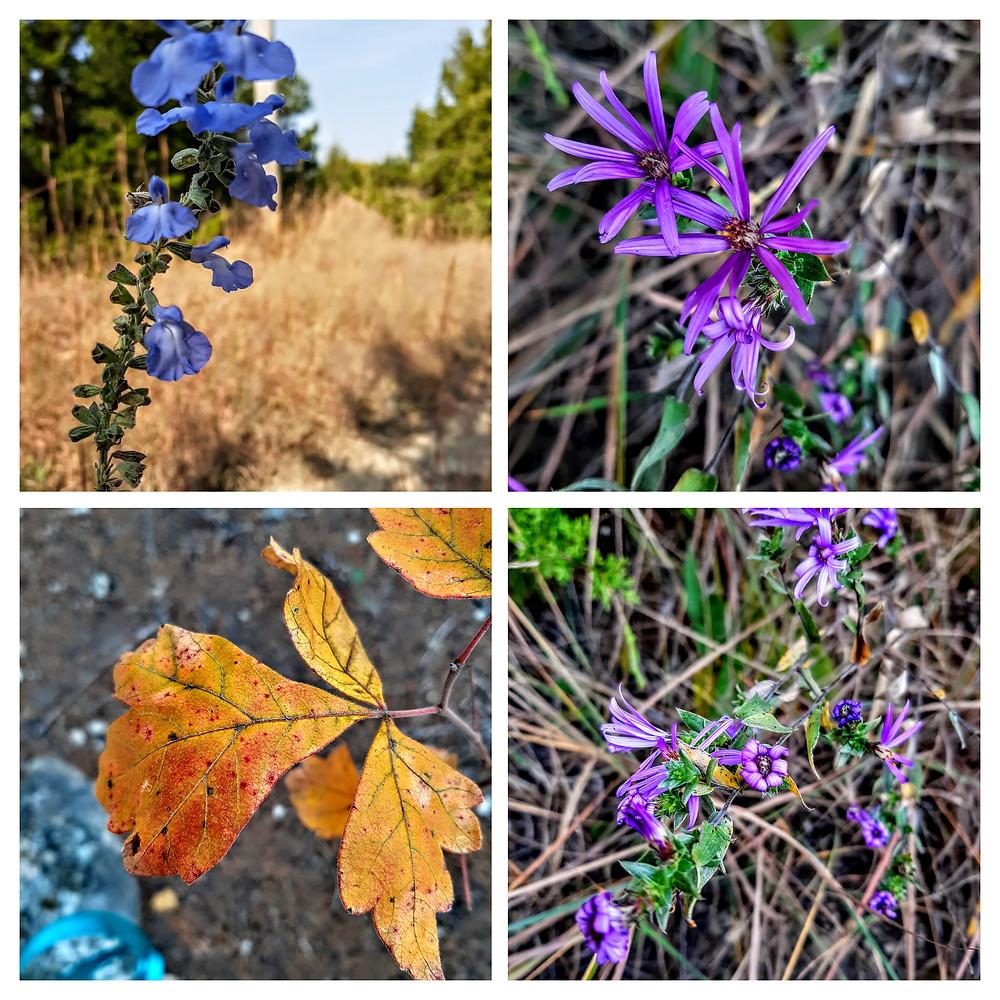 Giant Blue Sage, American Asters, Fragrant Sumac Fancy Creek Hiking Trail, Randolph Kansas