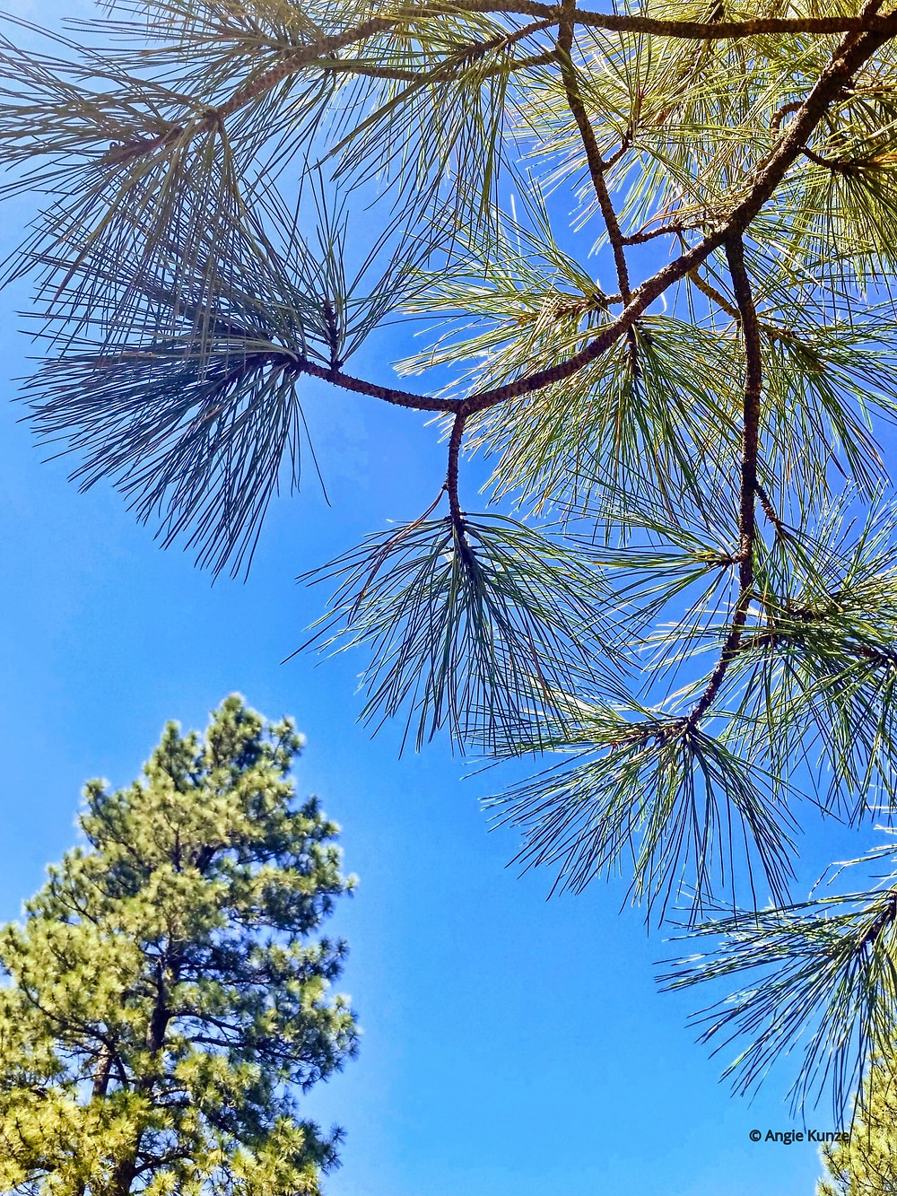 Pine trees in Flagstaff Arizona