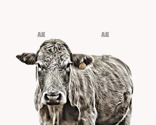 """""""white cow"""""""