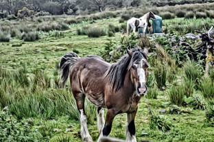 irish valley horse
