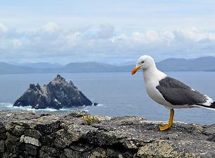 seagull facing Little Skellig Island as seen from Skellig Island Ireland