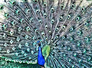 peacock artwork in my animals wildlife and birds art gallery menu