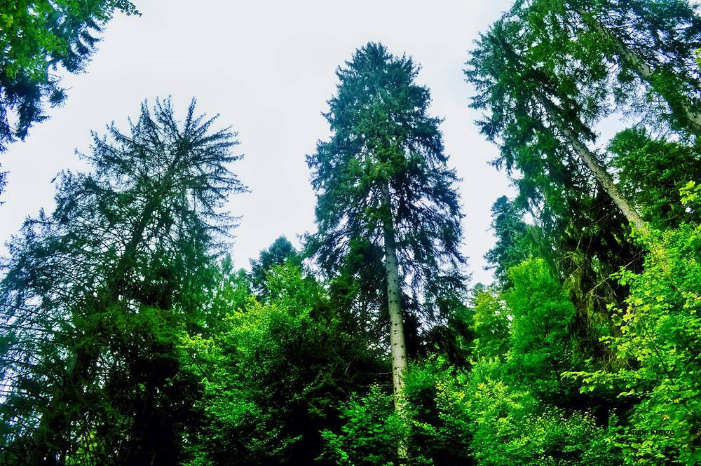 trees black forest Germany, Schwarzwald Baden-Württemberg