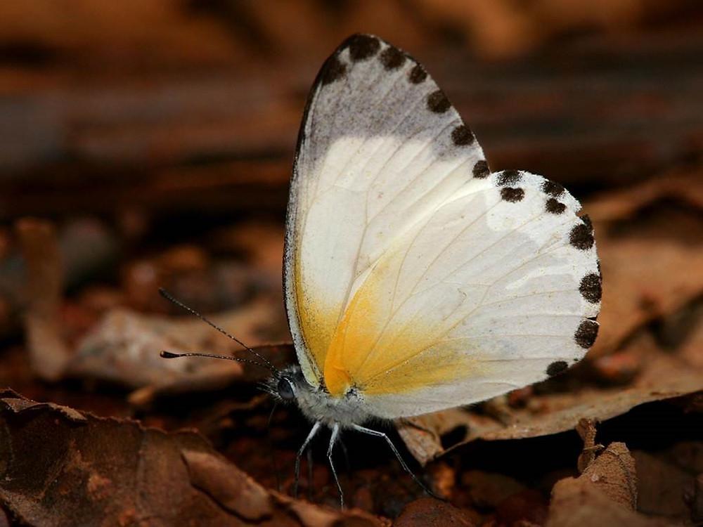 Atewa Dotted Border Butterfly (Mylothris atewa)  Szabolcs Safian