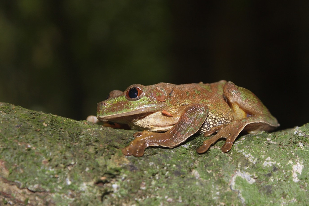 Leptopelis aff. macrotis (Possible new species from Atewa) Atewa is haven to diverse frog species. This new one confirm that there is more to this landscape than we have explore.
