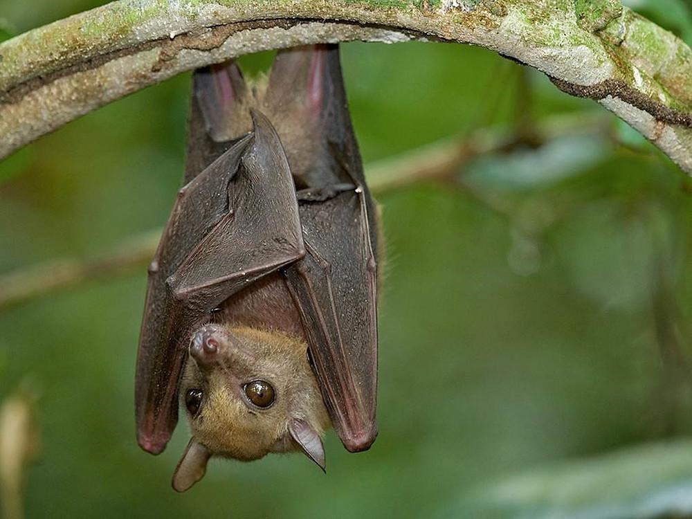Fruit bat (Myonycteris torquata) © Florian Mollers