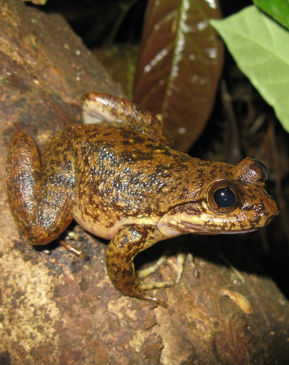 Conraua derooi – a Critically Endangered Species- Photo credit- Piotr Naskrecki