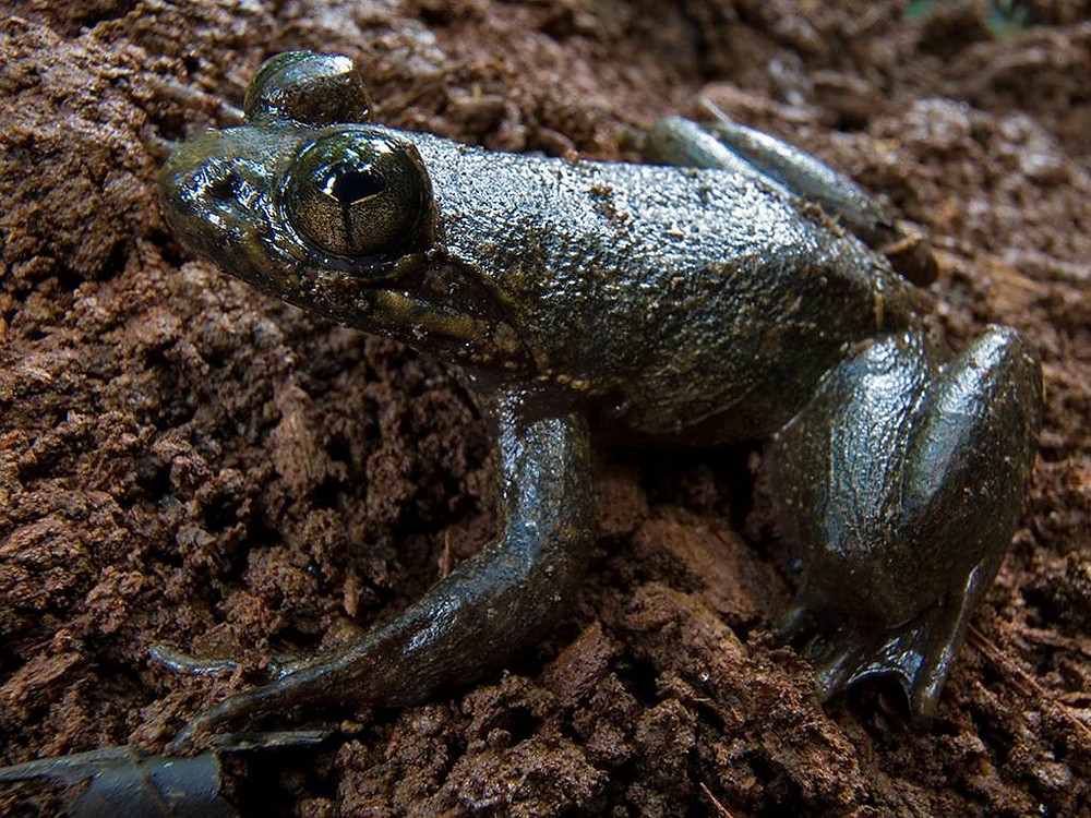 Conraua derooi (Togo Slippery frog) Photo Credit: Piotr Naskrecki Togo slippery frog (Conraua derooi) – A critically endangered species