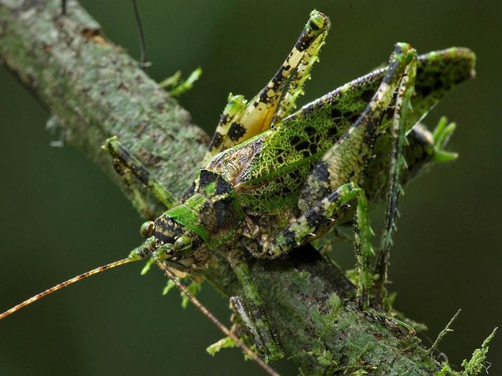Moss Katydid (Polyglochin peculiaris) © Piotr Naskrecki.