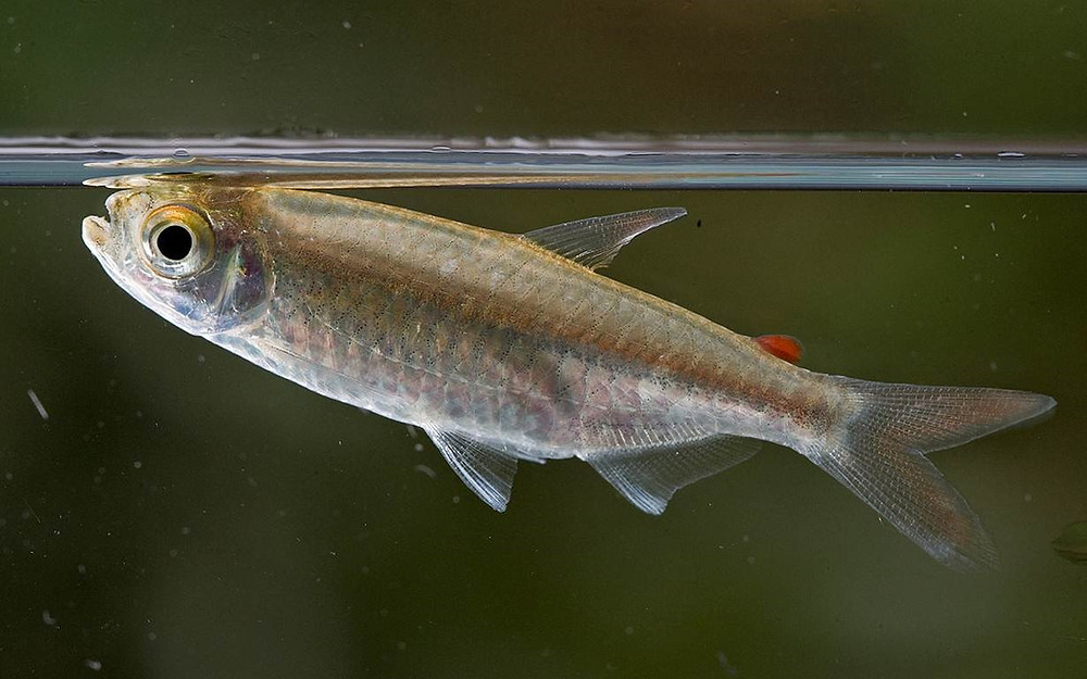 West African killfish (Epiplatys chaperi) © Piotr Naskrecki
