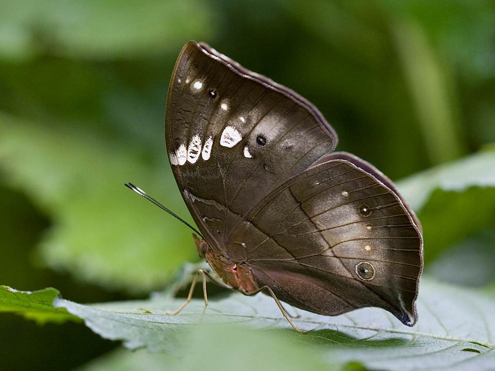 African Leaf Butterfly (Kallimodes rumia)