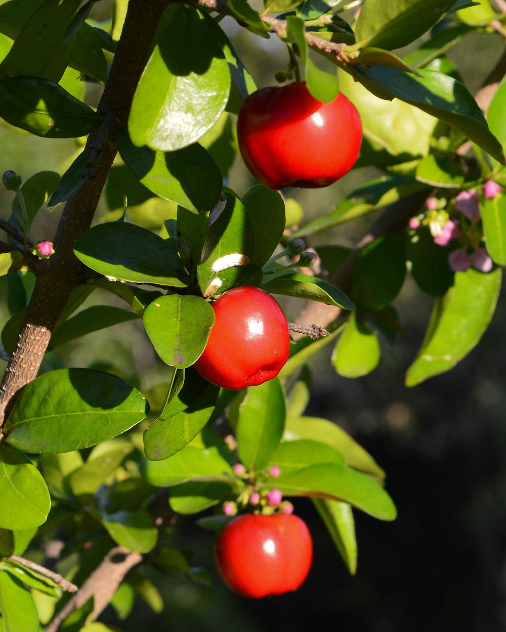 3 red cherries in the sunshine on barbados cherry tree in the summer at silver oak art USA