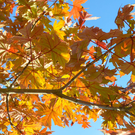 Our Autumn Blaze Maple at Silver Oak Art