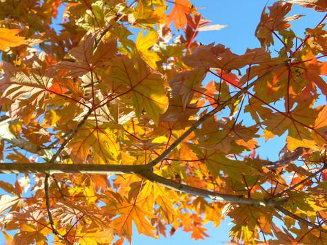 Our Autumn Blaze Maple at Silver Oak Art