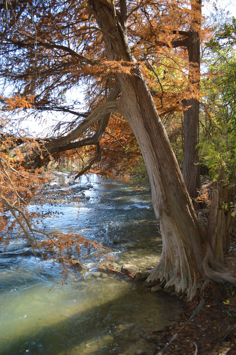 photo picture of autumn bald cypress tree with orange leaves leaning over Guadalupe river state park Texas in November