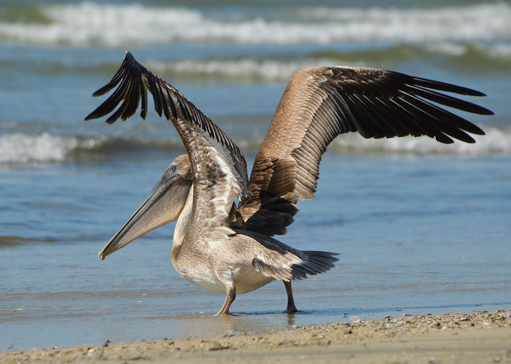 photo of pelican on beach in sunshine stretching wings about to fly with small waves breaking in the background in Texas
