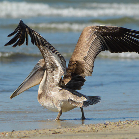 Can Pelican's Fly?