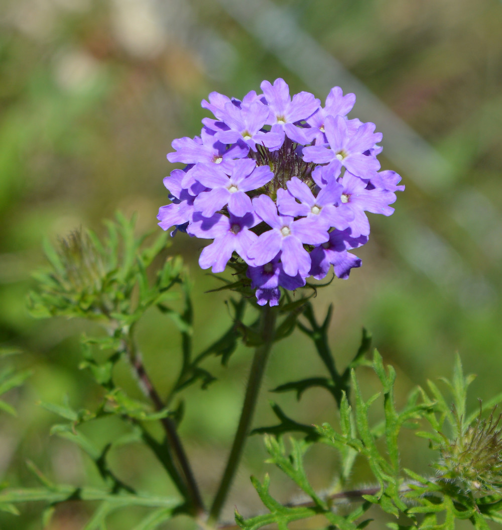 photo picture of purple verbena phlox wildflower close up in sunshine at Silver Oak Art