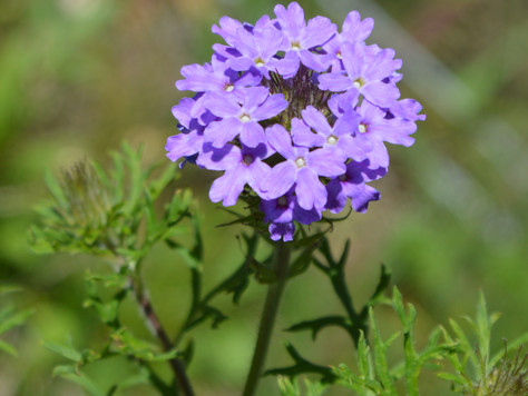 The Purple Verbena