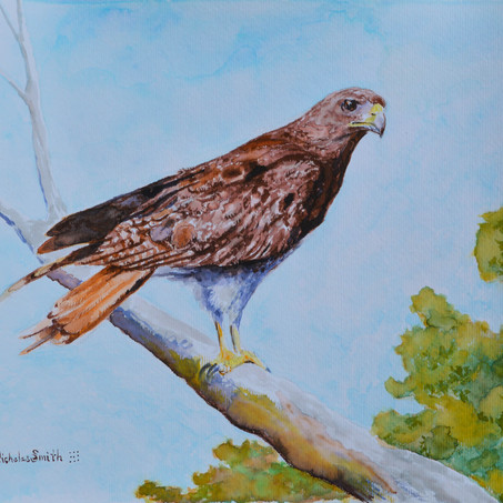 Red Tailed Hawk Watercolor Painting
