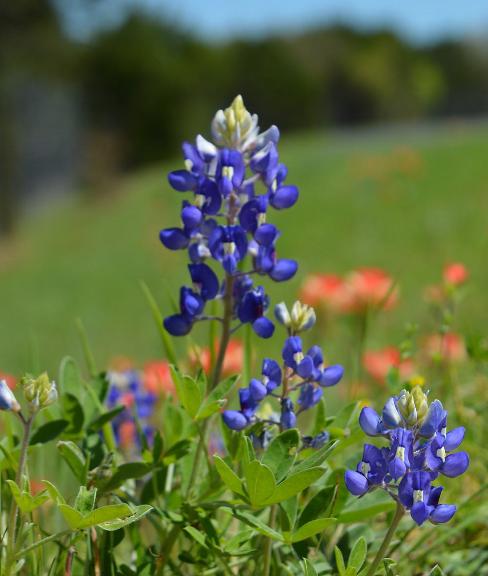 bluebonnet wildflower close up photo in the springtime Texas Hill country Bulverde