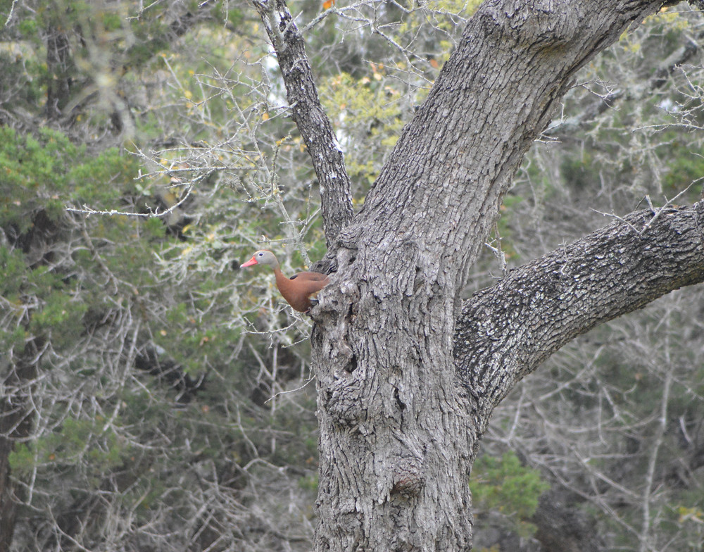 photography of duck in tree at silver oak art USA