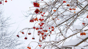 Will the Snow on My Trees Harm Them?
