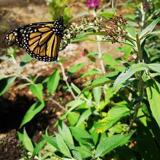 Monarch on butterfly bush