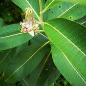 Milkweed plant