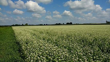 Copy of Copy of buckwheat field.jpg