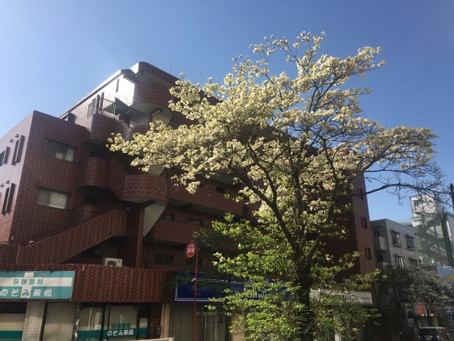 【雑記帳】ハナミズキが咲く市が尾