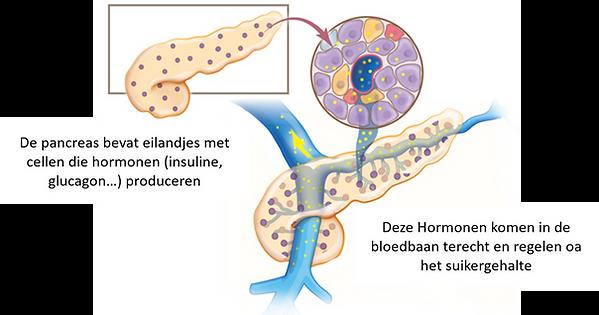 endocrine.jpg.png