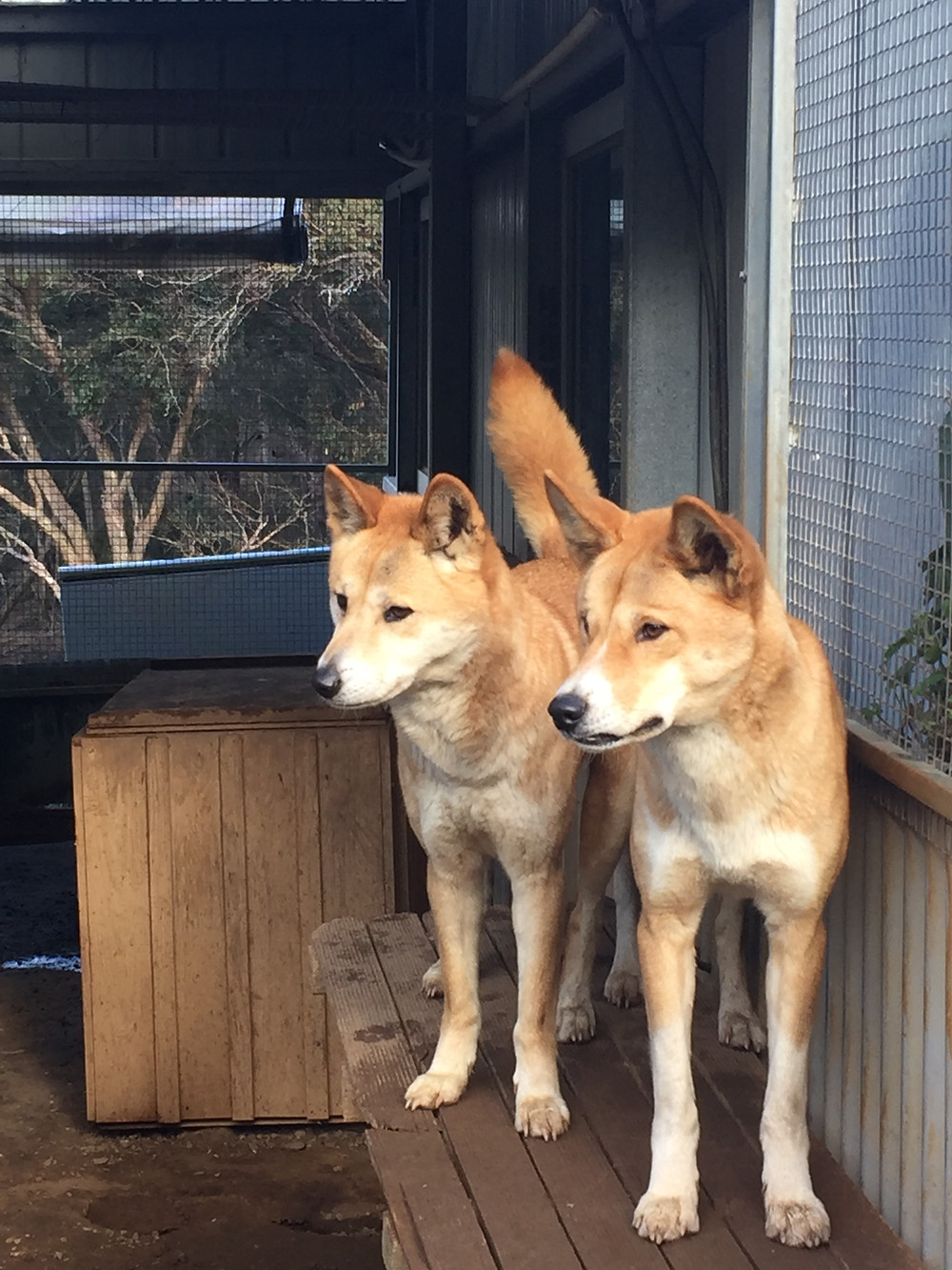 Aussie and Crikey - two adorable Alpine dingoes.
