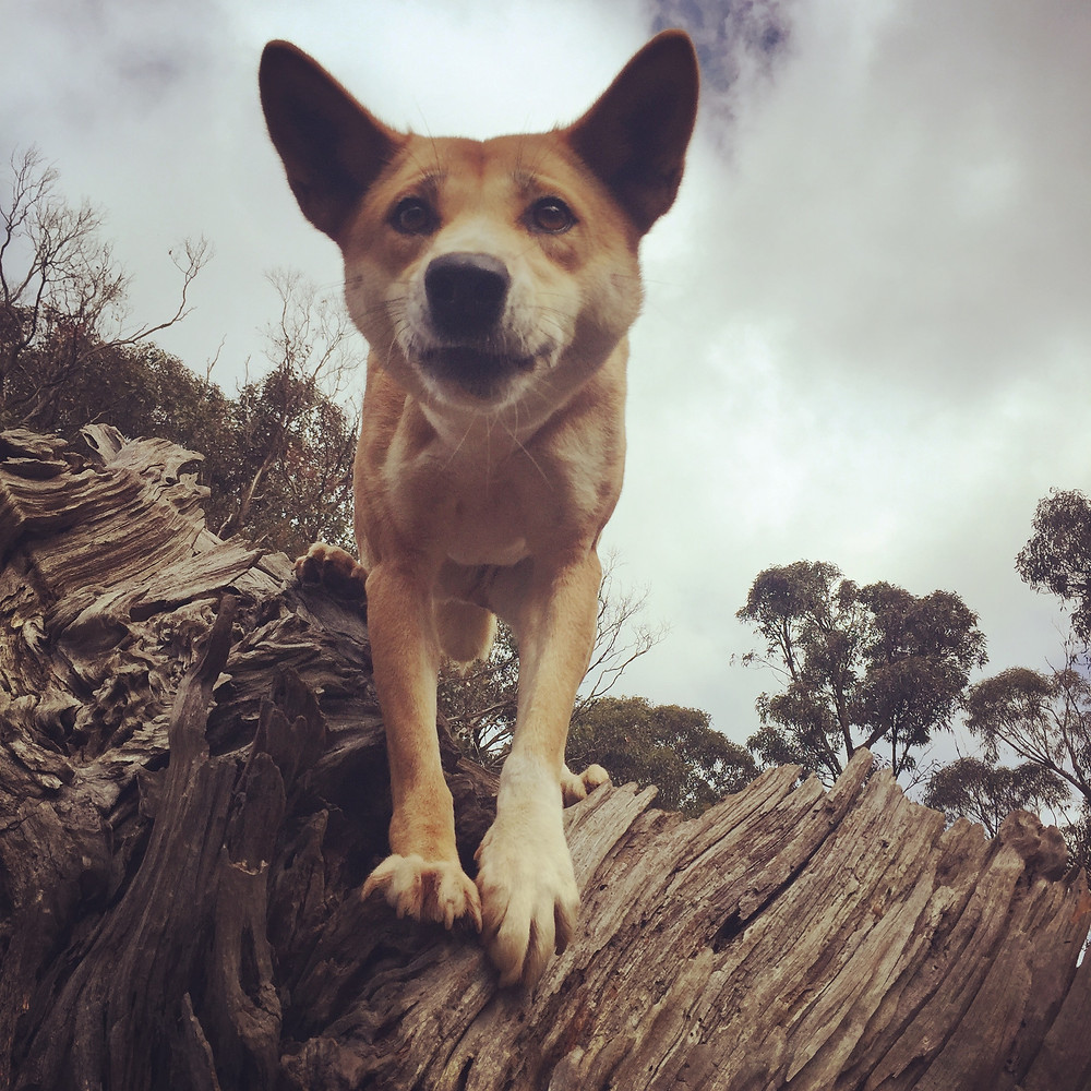 Kimmi the monkey dingo - showing her climbing skills.