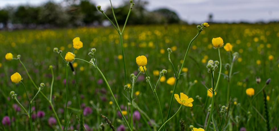 See Field Meadow