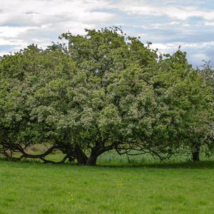 Hawthorn & The Irish Landscape