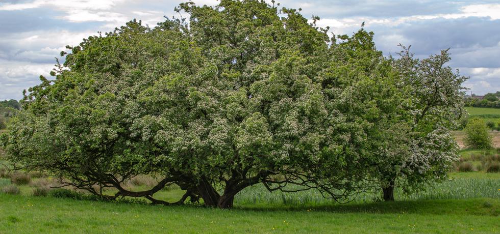 See Hawthorn & The Irish Landscape